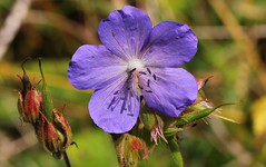 Meadow Cranesbill - Geranium pratense 160816 (1) (Richard Collier - Wildlife and Travel Photography) Tags: flowersenglishflowers flowers wildflowers british flora meadowcranesbill