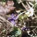 Viola odorata near East Aberthaw quarry, 30/03/78