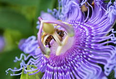 Bee Having a Lunch (pap-x) Tags: canon greece nature summer bee macro close up passiflora flower insect