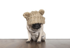 cute pug dog puppy with knitted hat covering eyes (monicaclick) Tags: adorable angry animal annoyed befedup beige canine cold coldears cool copyspace covered cute disillusioned dog early expression eyes facial fedup feddedup floor funny fur furry hadenough hat headgear headwear knitted knittedhat mondaymorning mood morning paws pet pompon pompons pretty pug puppy ribstitch sits sitting unhappy upset winter wooden woodenfloor