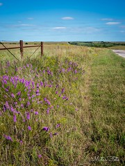 Road (Kay Martinez) Tags: flinthills field grassyfield gayfeather dottedgayfeather wildflower kansasflower kansaswildflower kansas cowleycounty