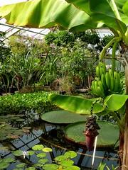 Musa acuminita 1 (heinvanwinkel) Tags: 2012 banaan bloemvandedag commelinids euphyllophyta hortus leiden liliopsida magnoliophyta mei mesangiospermae musaacuminata musaceae nederland petrosaviidae spermatophyta tracheophyta zingiberales