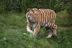 angespannt (Mel.Rick) Tags: tiger zooparc overloon raubtiere raubkatzen groskatzen sugetiere natur tiere