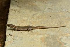 Lagartija Ibicea (Porschista) Tags: portinatx eivissa ibiza lagartija