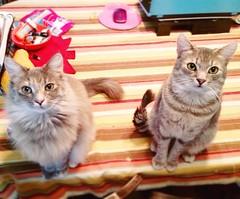 Beautiful beggars!   #kittensiblings #catsiblings #brotherandsisterkittens #brotherandsistercats #twinsies #dilutetorbie #dilutetabby #rescuekittens #rescuecats #spayandneuter #adoptdontshop (Jenn ) Tags: ifttt instagram