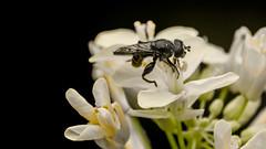Apoidea (Andres Rodriguez FOTOGRAFA) Tags: apoidea macro lens inverted invertido nikon nikond3200 d3200 insect macrofototgrafa mundomacro world colombia biodiversidad naturaleza pequeos insectos macrophotography