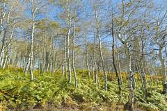 Aspen Grove Changing Colors (aaronrhawkins) Tags: aspen grove trees leaves fall color fern sundance resort americanforkcanyon alpineloop utah seasons foliage aaronhawkins