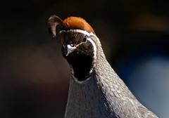 Gambel's Quail....up close and personal (phxdailyphotolady) Tags: arizona bird phoenix garden desert beak feathers desertbotanicalgarden quailbrown