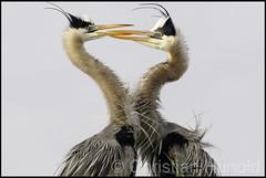 great blue herons (Christian Hunold) Tags: heron mating greatblueheron nesting courtship vierawetlands christianhunold