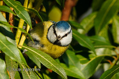 Blue Tit in a bush (Nigel Dell) Tags: winter birds flickr wildlife places hampshire fleet bluetit fsg ngdphotos