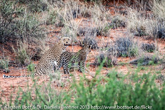 """Leopard with Cub • <a style=""""font-size:0.8em;"""" href=""""http://www.flickr.com/photos/56545707@N05/8384554978/"""" target=""""_blank"""">View on Flickr</a>"""