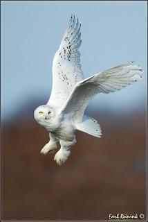 Snow Owl (30112-0184)