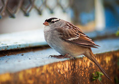 White Crowned Sparrow 09-30-12 DSC02013