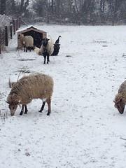 sheep and ducks (yawes & tups) Tags: flock beauchamp