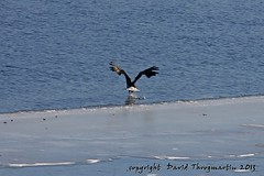 2013_01_26_2645_upd (dthrog00) Tags: clinton baldeagle iowa mississippiriver birdinflight 60d 70200f4lusm ef14xiiteleconverter