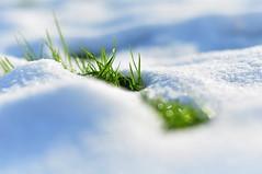 ... (Agi - Agnieszka Lewkowicz) Tags: light shadow white snow up grass photography close agi cien bialy trawa swiatlo snieg agnieszkalewkowicz
