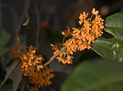 Delicate And Fragrant, Osmanthus fragrans var. aurantiacus f. aurantiacus (aeschylus18917) Tags: flowers autumn orange flower macro tree fall nature japan season tokyo petals nikon seasons petal fragrant   nikkor   kinmokusei fower osmanthus fragrantolive 105mm 105mmf28   oleaceae teaolive sweetolive 105mmf28gvrmicro lamiales osmanthusfragrans asterids d700 nikkor105mmf28gvrmicro  nikond700 danielruyle aeschylus18917 danruyle druyle    osmanthusfragransvaraurantiacusfaurantiacus