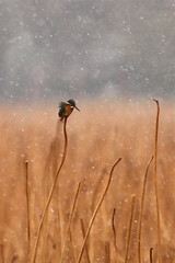 Weather (akurashashin) Tags: bird wildlife kingfisher perch snowing 652 52weeks