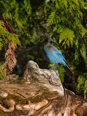 Im Blue , but Im not Blue Jay , Im  Steller's Jay ( Cyanocitta stelleri ) - Chilliwack Lake Provincial Park (janusz l) Tags: blue trees winter sun snow canada bird sunshine forest star moss jay evergreen lichen burst provincialpark chilliwack cyanocitta stelleri stellers janusz leszczynski 20130206 223733