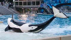 Orkid Spinout on the Slideout (lolilujah) Tags: world ocean show california ca sea train swimming one aquarium jumping stadium sd soak orca splash captive seaworld shamu trainer zone captivity splashing cetacean trained blackfish lolilujah