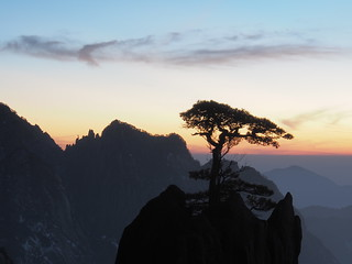 Huangshan pine at sunset