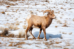Big Horn Sheep (Evan Gearing (Evan's Expo)) Tags: wild mountain snow animal big nikon sheep wyoming horn nikkor 18200 jacksonhole wy bighornsheep nationalelkrefuge d300s evangearingphotography evansexpo