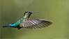 Firey-throated Hummingbird in Flight (Raymond J Barlow) Tags: travel green bird art nature costarica wildlife adventure raymond teaching tours barlow avian birdinflight nikond300 raymondbarlowtours
