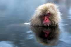 One relaxed monkey (Oscar Tarneberg) Tags: japan relax monkey relaxing ape  bathing hotspring volcanic nagano chill  jigokudani snowmonkey japanesemacaque   japanalps   volcanicspring