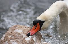 Gerroff (Dan Belton ( No Badger Cull )) Tags: uk winter bird nature water birds animal swan leicestershire wildlife cygnet february mute loughborough cygnusolor agression behaviour charnwoodwater 2013