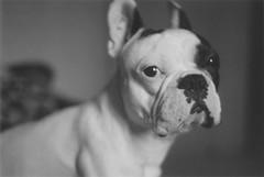 2004FG20 (guilherme;) Tags: portrait bw dog pet film analog french analgica nikon pb bulldog cutie frenchbulldog 50 ilford fg fg20 panf zoso