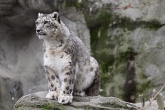 Snow Leopard (tetedefromage) Tags: nature animal cat zoo wildlife leopard bigcat endangered snowleopard rogerwilliamspark rogerwilliamsparkzoo rogerwilliamszoo rogerwilliams