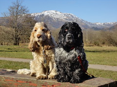 Rona and Isla (cocopie) Tags: cockerspaniels