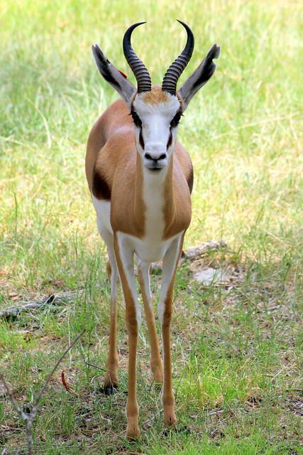 Springbok - Jackson, MS Zoo