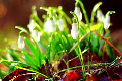 Erwachen (misstilli) Tags: flowers green colors canon germany lens eos flora bokeh pflanzen m42 manual snowdrop farben gegenlicht helios schneeglckchen russische biotar unschrfe 2013 objektive eos600d