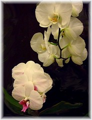 My Orchids (B.........) Tags: pink flowers ireland dublin white orchid flower beautiful yellow march petals perfect flickrcentral flickrfriends fujifinepix orchidea geotagging perfectpetals phalaenopsisorchidee perfectpetalsgroup