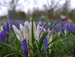 Spring at Kendal Cemetery 5 (Tony Worrall Foto) Tags: uk flowers blue wild england white green nature grave outdoors spring colours purple natural buried north stock crocus images bulbs colourful tombstones gravestones springflowers grown kendal kendalcemetery 2013tonyworrall