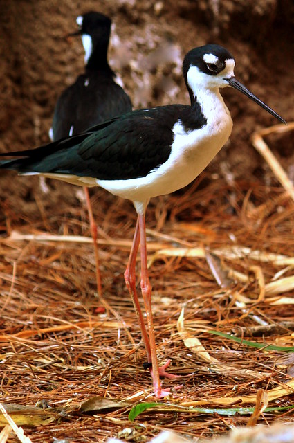 Black-Necked Stilt - Jackson Zoo
