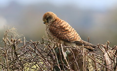 Thorn Bird (Barry Bradford) Tags: hedge thorns kestrel somersetlevels