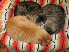 Three of my kids, sharing a recliner (Hairlover) Tags: old pet cats pets cat ginger kitten tabby kitty kittens kitties kittys oldcat multiplecats threeleggedcat catcatskittykitties 23yearoldcat