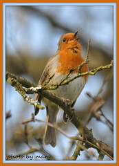 Sweet song from the Robin (maryimackins) Tags: castle robin kent singing mary scotney mackins