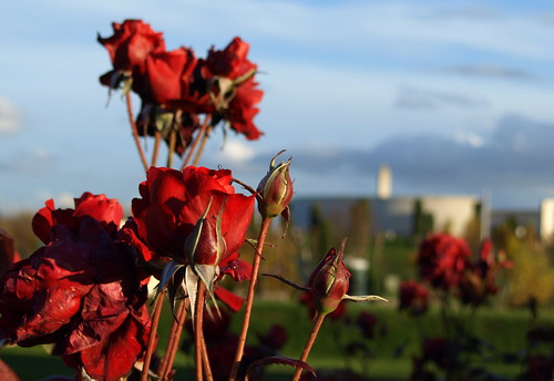 The National Memorial Arboretum - Autumn Rose