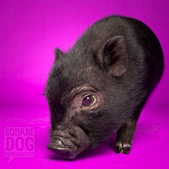 Hey Pig (Charlie the Cheeky Monkey) Tags: pink pet black pig pit german hoof snout babypig sniffer pglet clovenpiggy