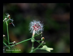 Nature's perfection - Dandelion (At Dehradun, Uttarakhand, India) (Ashish Gaur - www.ashishgaur.com) Tags: camera india white flower love nature beautiful beauty grass photography photo kid amazing flickr foto child indian picture pic dandelion photograph click dslr spark himalayas ashish dehradun fotography gaur fotograph phool uttarakhand talab sgrr dudal kanwali singhparni kanphul