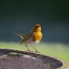 Garden Robin In Early Sunshine - Norton Canes, Staffordshire. (john lunt) Tags: camera uk portrait england colour cute bird nature robin sunshine closeup digital canon john garden square lens eos photo solitude looking natural image zoom britain candid wildlife softness scene norton photograph canes 70300mm staffordshire idyllic tranquil freshness tranquillity lunt alertness specanimal 5dmk2 mygearandme mygearandmepremium mygearandmebronze mygearandmesilver mygearandmegold