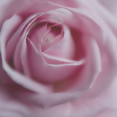 Pink Rose. (Yvette-) Tags: pink flower rose softandmuted nikond5100