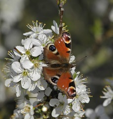 On this day last year.... (rockwolf) Tags: peacock peacockbutterfly butterfly lepidoptera inachisio insect blossom flowers spring whereareyou snowsnowgoaway fedupwithwinternow venuspool shropshire rockwolf stylops strepsiptera stylopidae parasite endoparasite