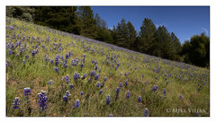 Blue Fields I (mike_vieira213) Tags: spring nikon blooms lupines lospadresnationalforest mtfigueroa d7000 mikevieira