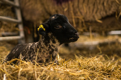 New Arrival (MetAlbert R) Tags: farm sony alpha nex templenewsam e50mm emount nex6