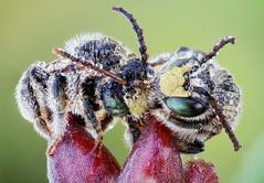 Cuddly Bees (johnhallmen) Tags: naturallight bee hymenoptera macropis canonmpe65 melittidae canon5dmkii macropiseuropaea zerenestacker