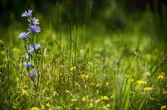 Standing Tall (flashfix) Tags: flowers summer ontario canada nature field petals nikon purple bokeh vibrant ottawa trail wildflowers mothernature 2016 nikond7000 55mm300mm 2016inphotos july192016
